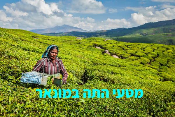אישה אוספת עלי תה במטעי התה המקיפים את מונאר